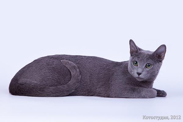 Русская голубая кошка Choop's